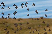 Star, Stare, Trupp, Schwarm, Starenschwarm, sammeln sich im Herbst zum Zug gen Süden, Sturnus vulgaris, European starling, common starling, L'Étourneau sansonnet