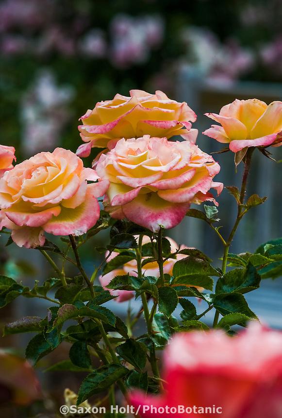 Floribunda rose flower 'Daybreaker' in pesticide free demonstration garden, Marin Art and Garden Center