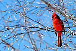 The bright blue sky on a sunny winter day sets off the bright red of a male Cardinal who sits in an icy birch tree.