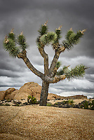 A Joshua Tree provides a sharp contrast to the surrounding rocks at California's Joshua Tree National Park.