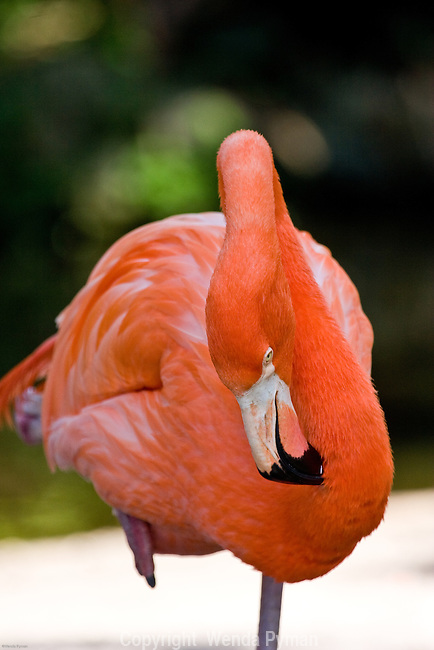 The Carribean flamingo is a long legged gregarious wading bird.