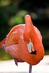 The Carribean flamingo is a long legged gregarious wading bird.