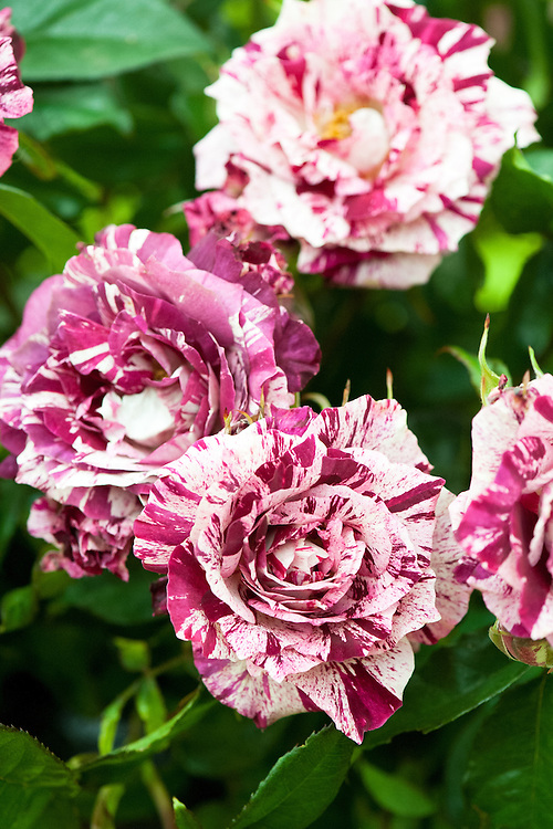 Rosa Purple Tiger ('Jacpurr'), early July. A purple, pink and white striped Floribunda rose. Bred by Jackson & Perkins, 1991.