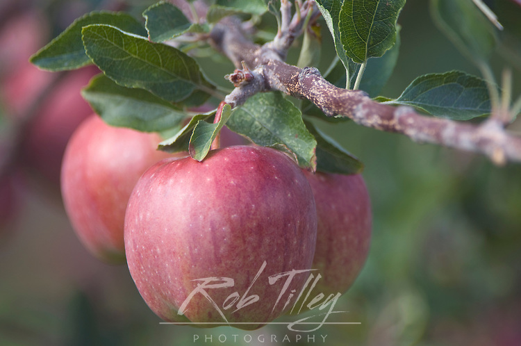 NA; Canada; British Columbia; Okanagan Valley; Apples (Selective Focus)