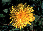 1 of 2 - Dandelion flower head in day light yellow.United Kingdom....