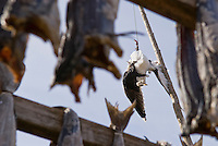 Dead seagull used as scarecrow to protect Cod Stockfish while drying, Lofoten, Norway