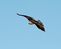 Osprey, Inks Dam Fish Hatchery, Texas
