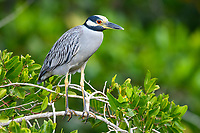 Yellow-crowned Night-Heron (Nyctanassa violacea). Guerrero, Mexico. December.