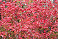 Euonymus alatus Burning Bush in autumn colour