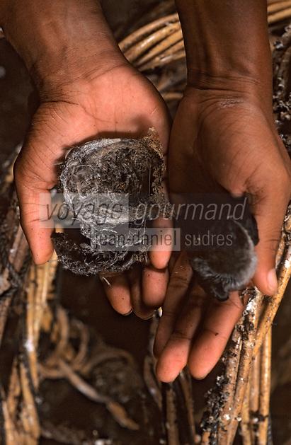 Asie/Malaisie/Env de Sandakan: Récolte des nids d'hirondelle