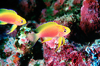 Hawaiian longfin anthias, females, .Pseudanthias hawaiiensis (endemic), .Kona, Big Island, Hawaii (Pacific).
