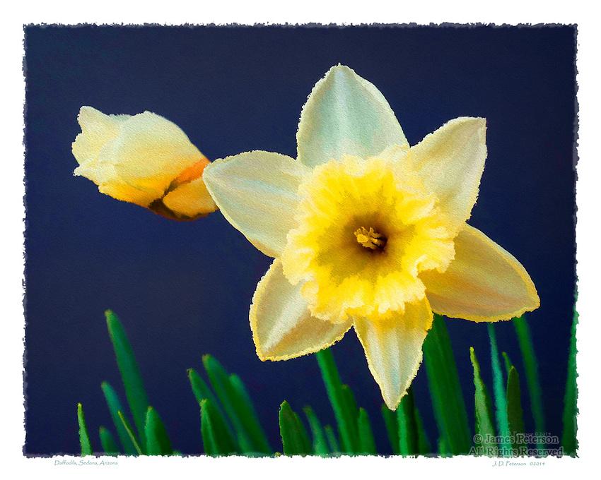 Daffodils, Sedona, Arizona