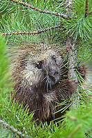 Porcupine in small lodgepole pine tree.