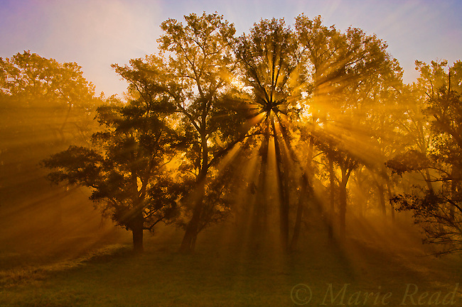 Sun beams passing through misty trees, Montezuma National Wildlife Refuge, New York, USA