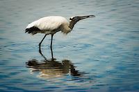 Spoonbills & Storks