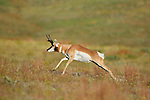 Pronghorn Antelope Buck Running