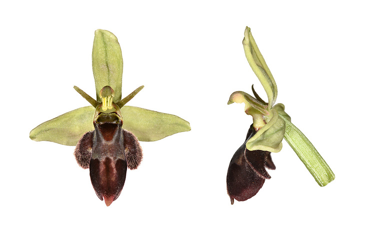 Bee/Fly Orchid hybrid - Ophrys apifera x O. insectifera