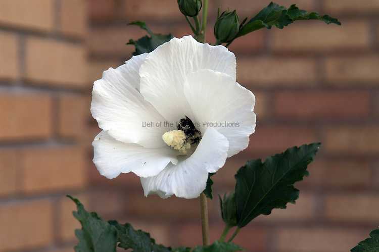 As a bumble bee gathers nectar from a rose of sharon flower, it is covered with pollen that it will carry to the next flower that the bee visits.