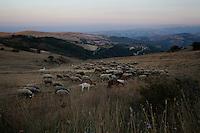 Un gregge di pecore attraversa la campagna intorno a Santa Croce di Magliano