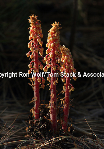 Pinedrops (Pterospora andromedea). Yosemite National Park. Tuolumne Co., Calif.