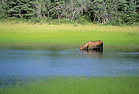Cow moose feeds on aquatic grasses in tundra pond, Interior, Alaska