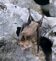 Mediterranean Horseshoe Bat - Rhinolophus euryale