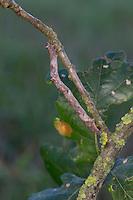 Aschgrauer Baumspanner, Aschgrauer Rindenspanner, Raupe, Mimese, Tarnung, Tarntracht, Verbergetracht, Raupe imitiert das Aussehen eines Ästchen, Astmimese, Ästchenmimese, Ast-Mimese, Hypomecis punctinalis, Boarmia punctinalis, Boarmia consortaria, Pale Oak Beauty, caterpillar, mimesis, camouflage, Spanner, Geometridae, geometer moths, geometers