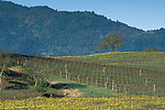 Mustard flowers bloom in spring vineyard and hills of Staggs Leap, Silverado trail, Napa Valley Wine Country, California