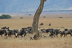 Three cheetahs mark a tree on the Maasai Mara plain as a herd of blue wildebeest keep a close watch on the cats. Kenya.