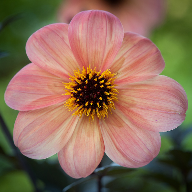 Dahlia 'Mystic Haze', end July. A dark-leaved variety with apricot-orange flowers, raised by the New Zealand Dahlia breeder Dr Keith Hammett. Also known as Dahlia 'Dark Side of the Sun'.
