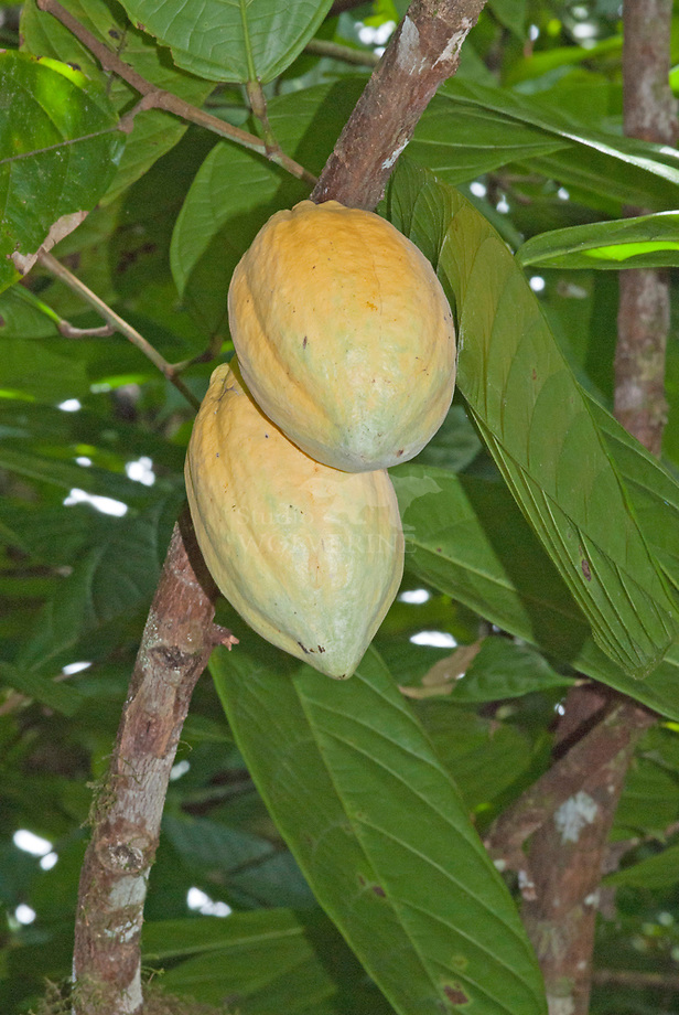 Cacaoboom (Theobroma cacao) met vruchten