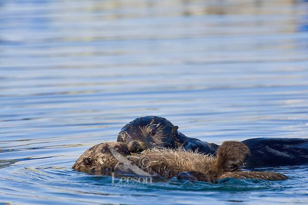 Sea Otter (Enhdra lutris)