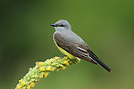 Western Kingbird on Mullein