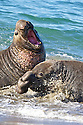 North America, USA, California, San Simeon. Northern Elephant Seal