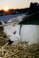 Tuesday March 6, 2007   A Cim Smyth dog rests as the sun sets at the Nikolai checkpoint on Tuesday evening.