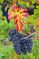 Bunches of ripe grapes. Vine leaf. Merlot. Chateau Grand Corbin Despagne, Saint Emilion Bordeaux France