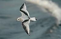 Ross's Gull - Rhodostethia rosea - Juvenile