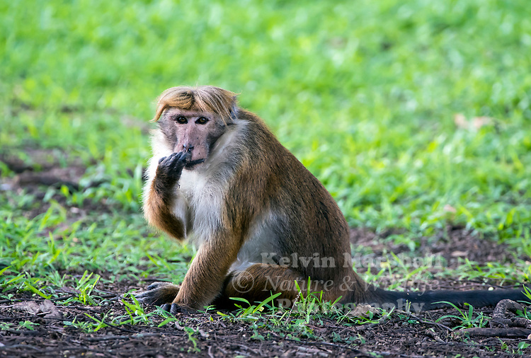 "Toque macaque (Macaca sinica) is a reddish-brown-coloured Old World monkey endemic to Sri Lanka, where it is locally known as the rilewa or rilawa (Sinhala රිළවා), (hence ""rillow"" in the Oxford English Dictionary). It is named for the toque-shaped whorl of hair on its head, rather like the bonnet of the related bonnet macaque. Habarana - Sri Lanka."