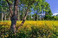 Black-Eyed Susans fill the open areas between tree groves at Rock Run Forest Preserve in Will County, Illinois