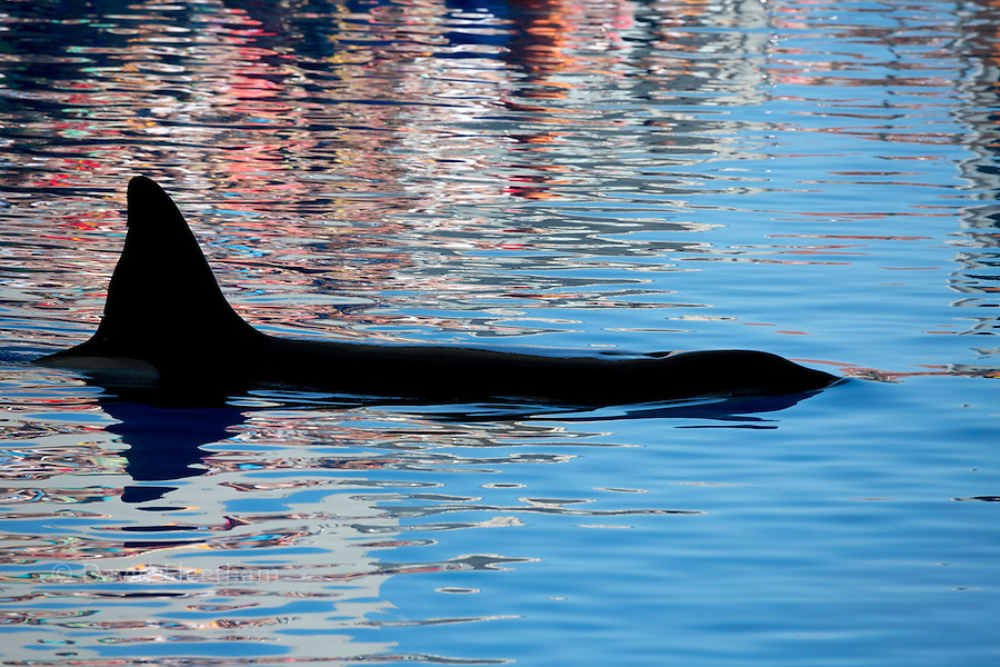 The view of a killer whale, Orcinus orca, on a calm surface with reflections, Canary Islands, Spain.