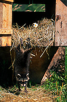 Young raccoon jumping fdown from stack of hay.