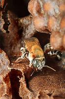 Melipona Beechei (in Costa Rica)///Melipona Beechei (in Costa Rica)