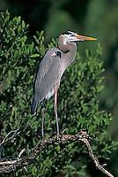 Great Blue Heron, Ardea herodias, adult, Sanibel Island, Florida, USA