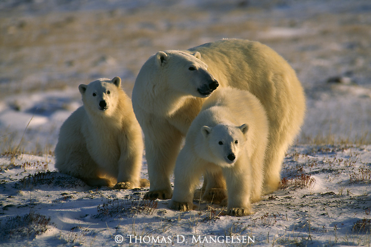 A mother polar bear looks out over the snowy landscape as she watches over her cubs.