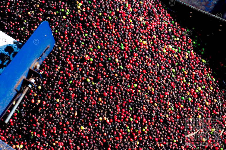 Freshly harvested coffee beans (coffee cherries), Ka'anapali, Maui
