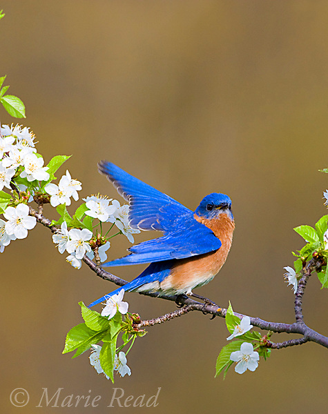 Eastern Bluebird (Sialia sialis), male giving wing-wave display while perched amid cherry blossom in spring, New York, USA