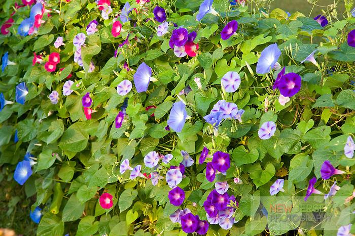 Morning Glory blooms, Lumberton, New Jersey