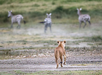 This lioness watches as her hunt is ruined by a pride mate who moved too quickly and spooked the zebras.