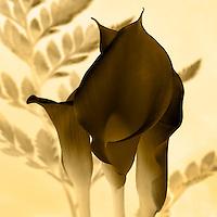Calla Lily - Inverted Sepia