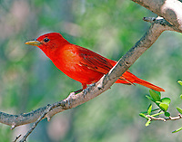 Adult male summer tanager